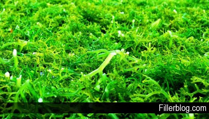 Beberapa Manfaat Rumput Laut Untuk Kesehatan