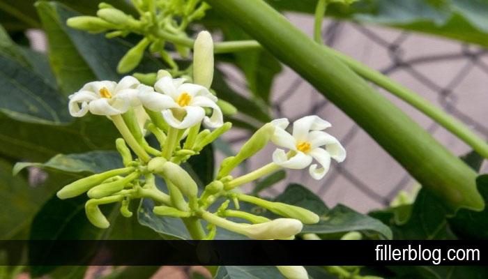 Manfaat Konsumsi Bunga Pepaya Bagi Kesehatan